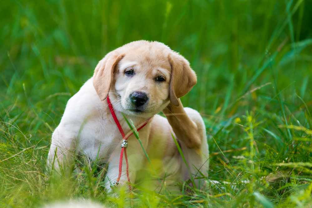 Facts About Fleas: What Every Pet Owner Should Know