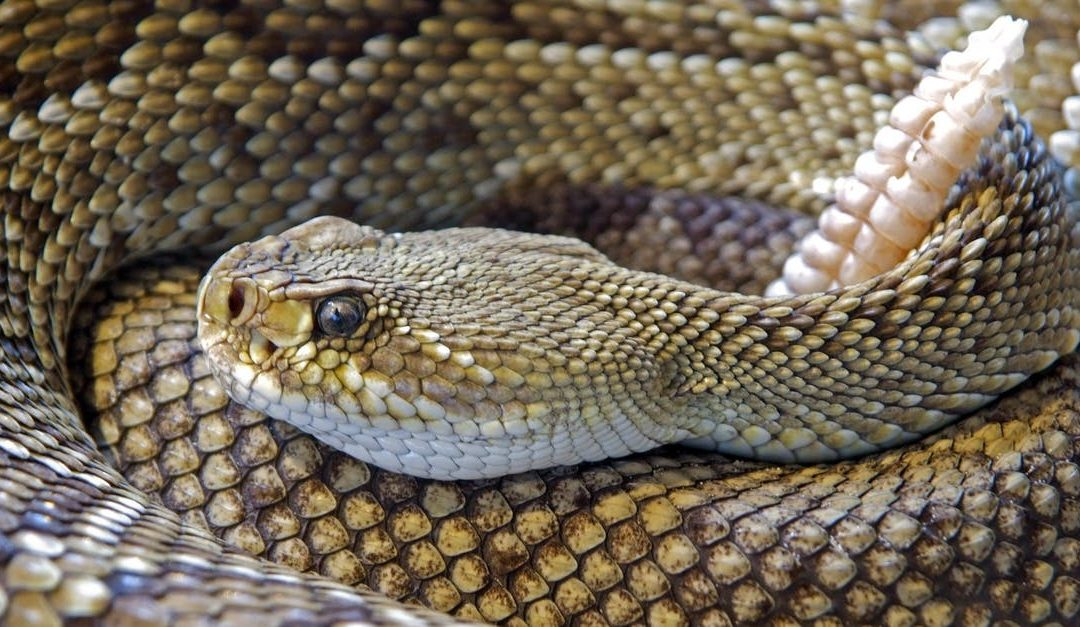 What To Do Immediately After Your Pet Is Bitten By a Rattlesnake