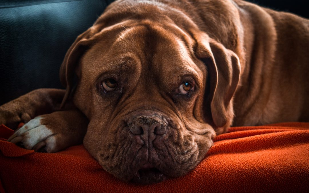 Lipomas and Lumps on Dogs: Common Causes