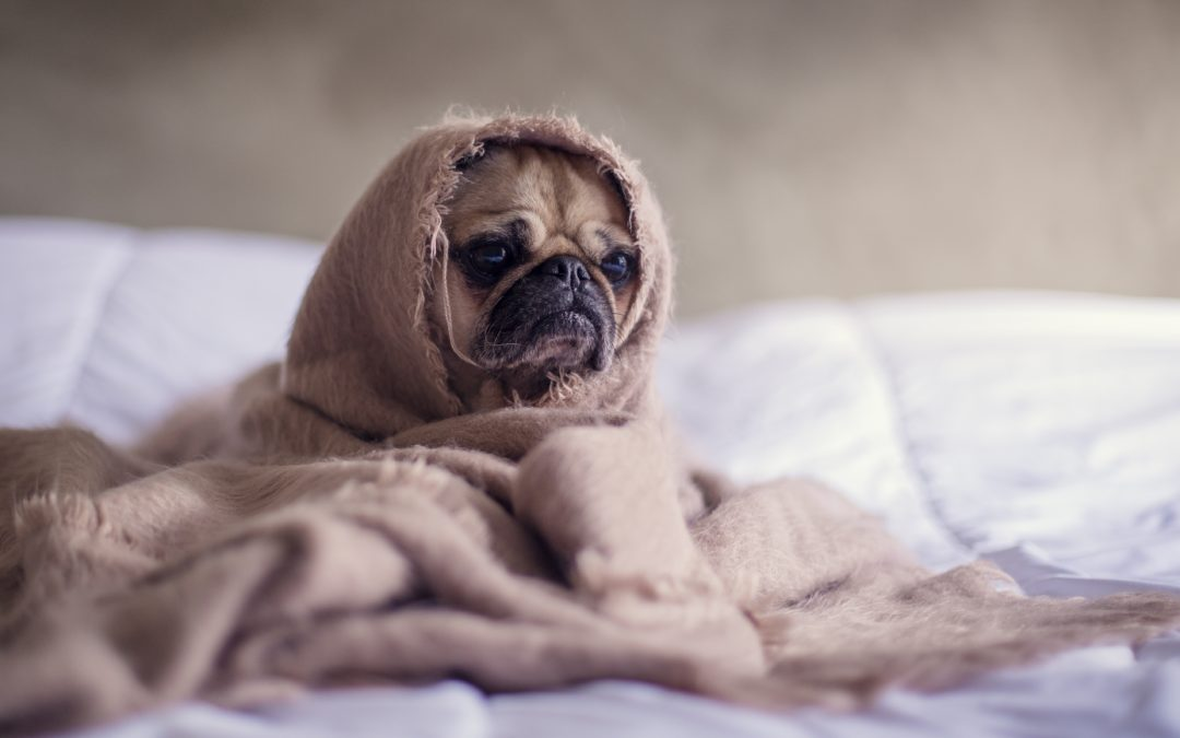 Dog Flu and Colds: What To Do When My Dog is Sick