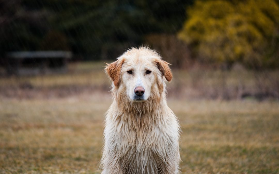 Preparing Your Pets For a Monsoon: 4 Great Tips