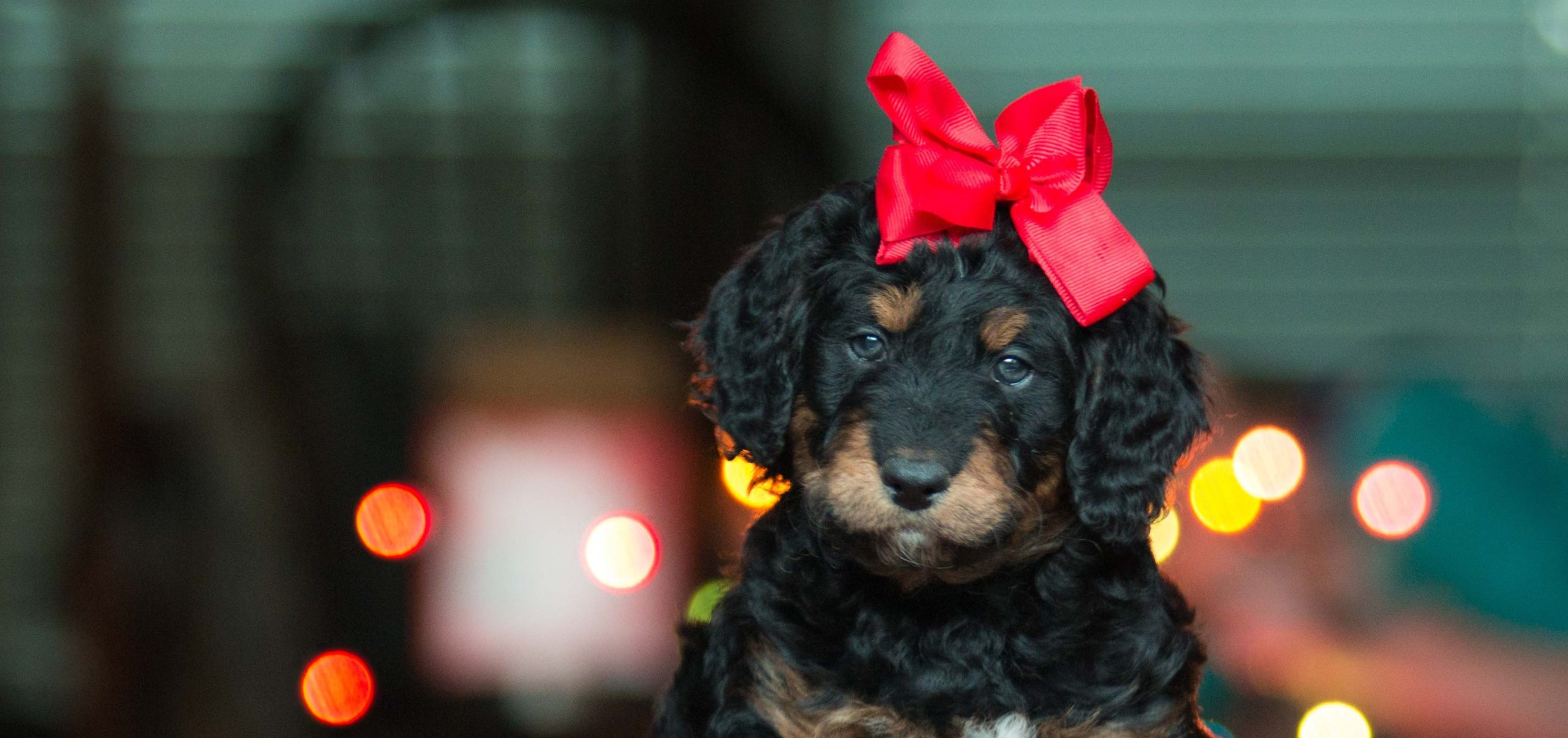 Think Twice Before Giving a Puppy as a Gift