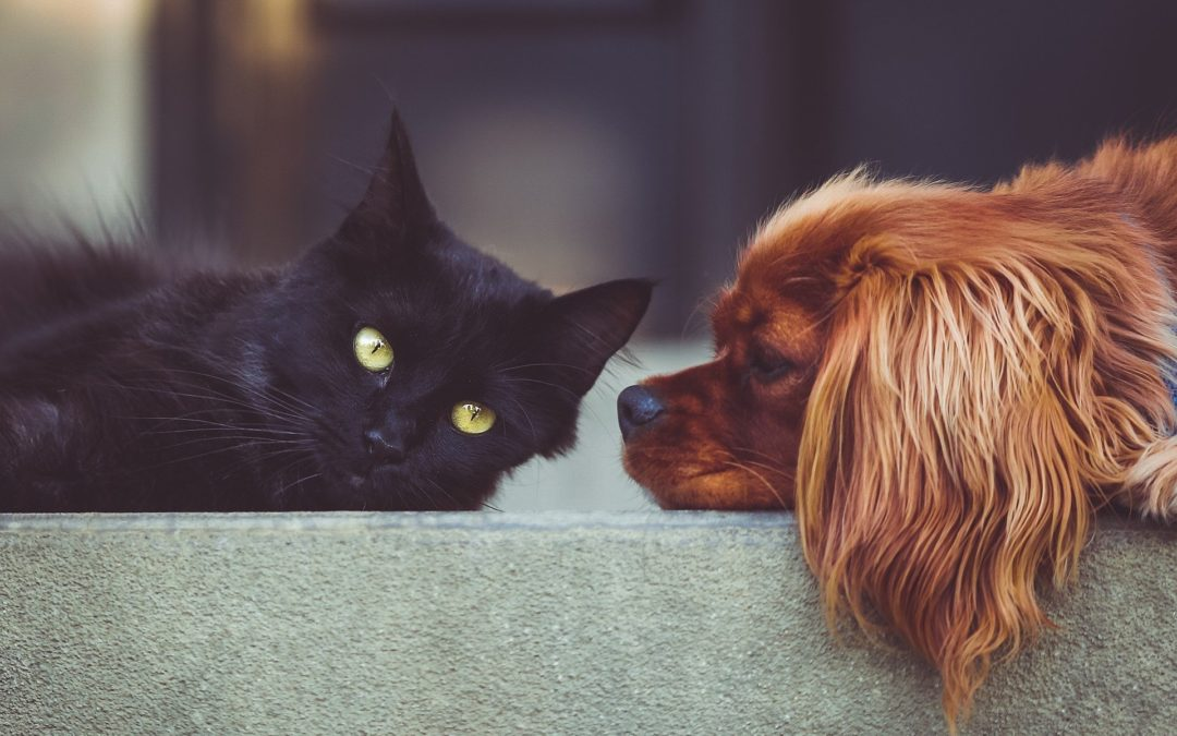 3 Great Strategies for Introducing a Cat to a Dog
