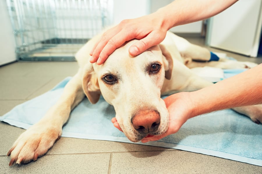 Dog Head in Vet Hands Triage Policy